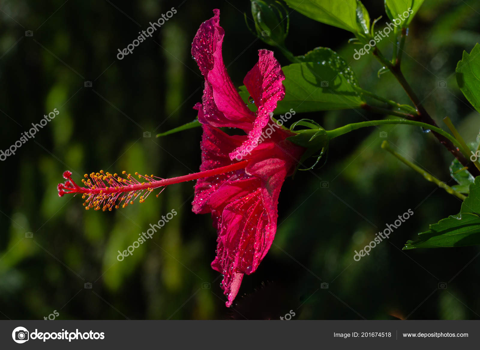 A Bright Red Hibiscus Trumpet Shaped Flower With Yellow Stamens