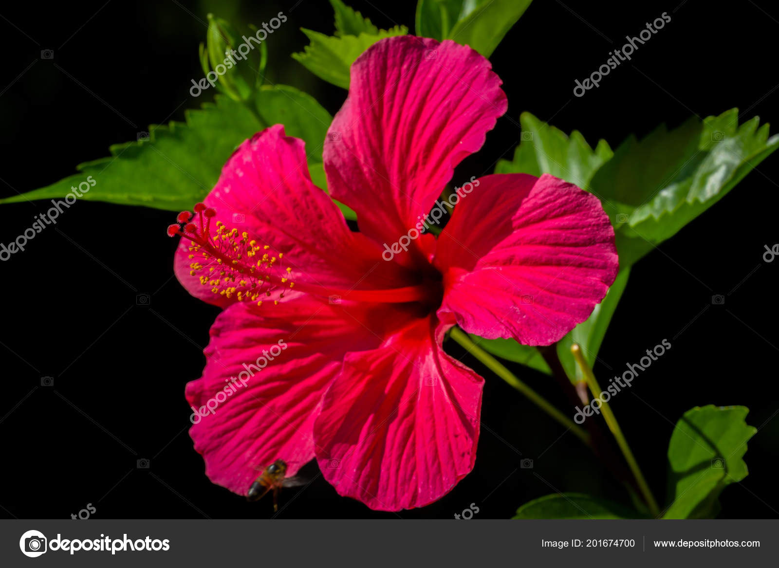 Tropical Red Hibiscus Flower With Leaves On Black Background Stock