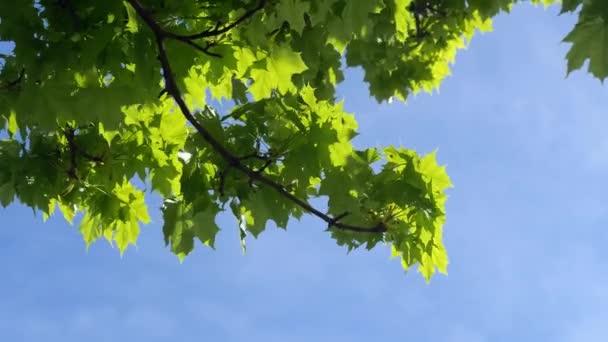 teplý kvetoucí javor před modrou oblohou na jaře se silným větrem, ve dne bez lidí