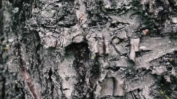 Je to kůra stromu zblízka, nádherná krásná kůra stromu. Kamera zvolna pohybuje kolem kmene. Vertikální panoramatické