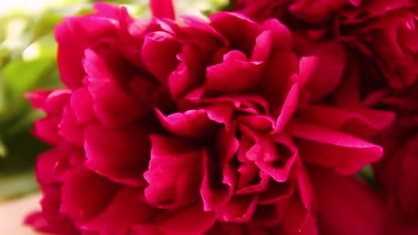 Jarní koncept. Čerstvé červené Peony. Kvetoucí květinové květy, zaostřená.