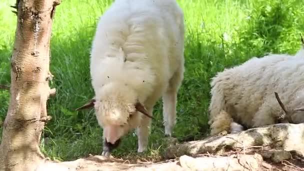 große Herde oder Schafherde auf Outback Station oder Ranch
