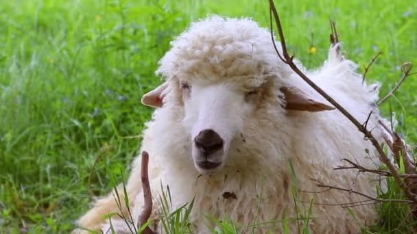 Nahaufnahme einer Schafherde, die an einem sonnigen Tag auf der Ranch weidet und grüne Graswiesen frisst, Zeitlupe