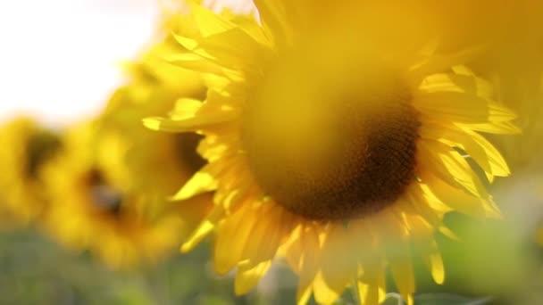 Slunečnice se houpne ve větru. Slunečnicové pole během západu slunce