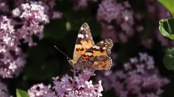 Brown pillangó egy gyönyörű minta a szárnyait ül egy lila virág bokor. Szél imbolygott növény egy napsütéses nyári napon