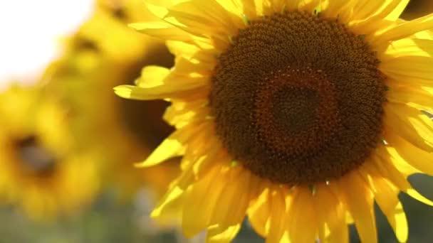 Slunečnicové pole při západu slunce