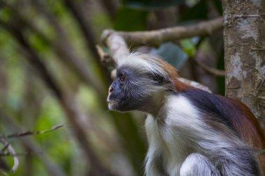 Monkey Red Colobus in forest. Zanzibar