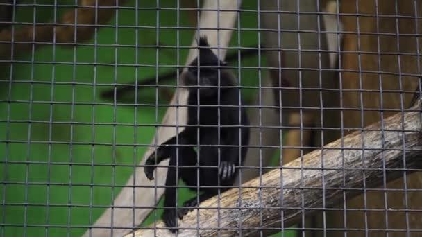 Vicces, fiatal fekete majom karmolja a lábát a ketrecben. Vadon élő állat. Aranyos csimpánz ugrál a fákon az állatkertben. Vad természet