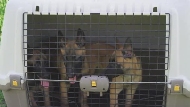 Malinois-Welpen sitzen in einem Transportkäfig. Drei Hunde hinter Gittern. Hochwertiges 4k Filmmaterial