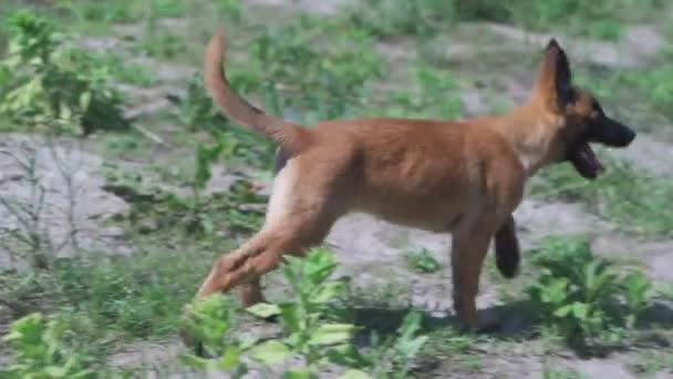 Der belgische Malinois läuft in Zeitlupe durch eine Lichtung. Welpe Shepherd rennt fröhlich. Hochwertiges FullHD-Filmmaterial