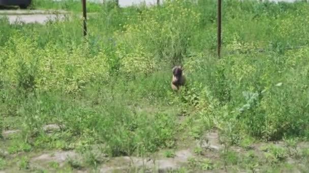 Wachsender Belgischer Schäferhund läuft vor laufender Kamera aus dem Gras. Aktiver Hund Malinois. Hochwertiges FullHD-Filmmaterial