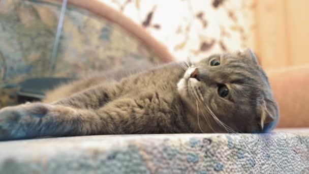 A macska otthon sütkérezik a kanapén. Pet gurul körül egy kusza hátán. Kiváló minőségű 4k felvételek