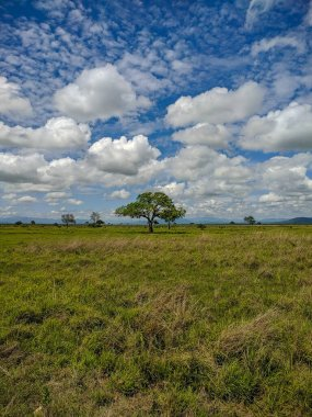 Mikumi, Tanzania - December 6, 2019:  beautiful view of the green savanna with African trees against the blue sky in the Mikumi national Park. Vertical.