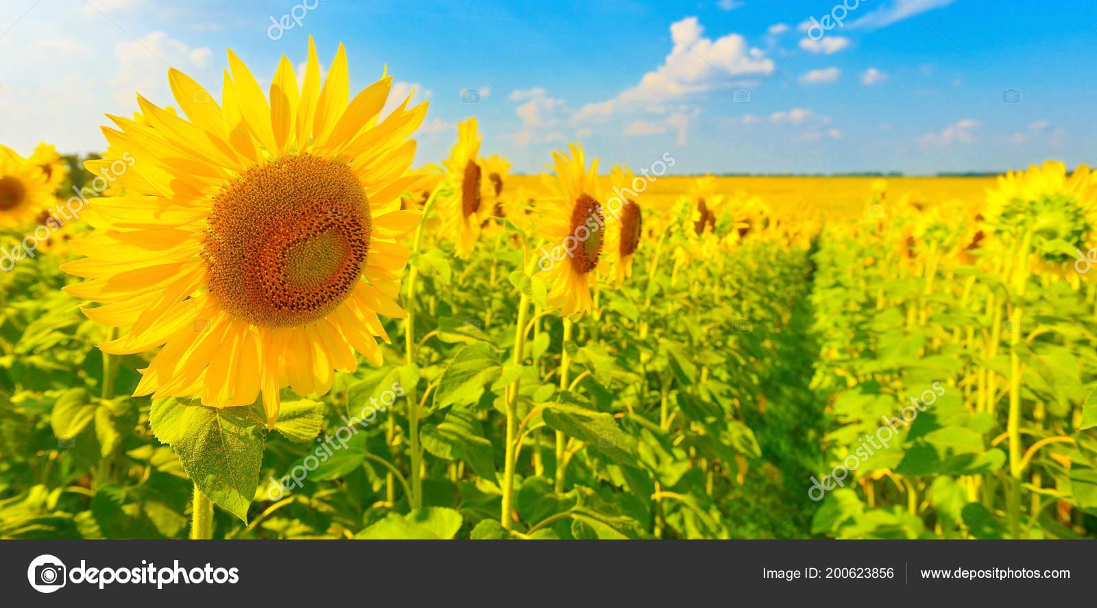 Paesaggio Estivo Con Girasoli — Foto Stock © LDenis #200623856