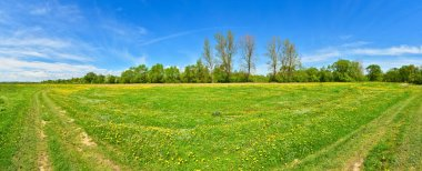Panorama of dandelions on spring meadow