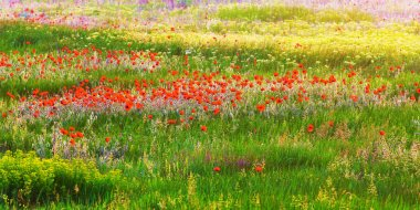 Herb meadow with poppies.
