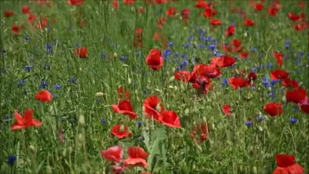 Květiny Červený mák kvete na divokém poli. Krásná krajina pole červené máky s selektivní zaostření rozostření. Odpoledne měkké sluneční světlo, západ slunce. Krajina panorama.