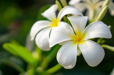 A bunch of beautiful petals Plumeria blooming under sunlight morning with water droplets on the white and yellow smooth corolla, know as another name are Temple tree, Frangipani, Graveyard tree, they are fragrant flowering