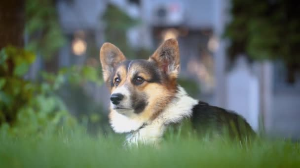 cute tricolor Welsh Corgi dog sitting in bright green grass