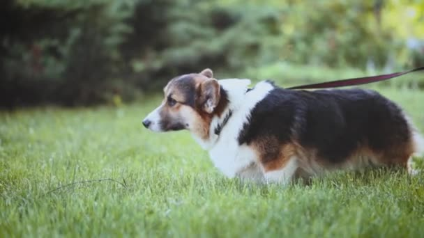 cute tricolor Welsh Corgi dog walking in bright green grass