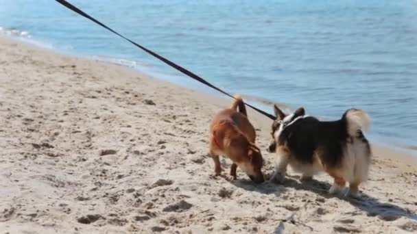 cute tricolor Welsh Corgi dog walking on the sand beach at summer sunny day. two dogs meeting and sniffing each other