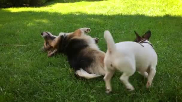 two joyful dogs playing in park. cute tricolor Welsh Corgi dog lies in bright green grass and small Jack Russell terrier runs around and plays with him