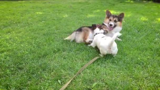 zwei fröhliche Hunde, die im Park spielen Niedlicher tricolor walisischer Corgi-Hund liegt im hellgrünen Gras und kleiner Jack Russell Terrier rennt herum und spielt mit ihm