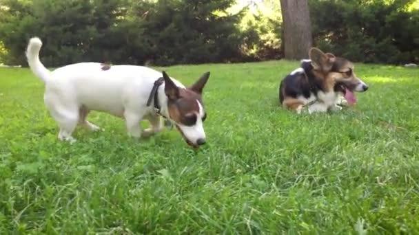 két örömteli kutyát játszanak parkban. aranyos tricolor walesi Corgi kutya fekszik, élénk zöld fű és a kis Jack Russell terrier fut körül, és játszik vele