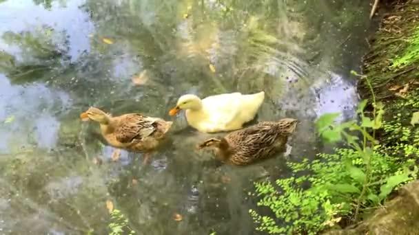 Három kacsa úszik a tó piszkos vizében. Környezetszennyezés koncepció 4k állomány videó.