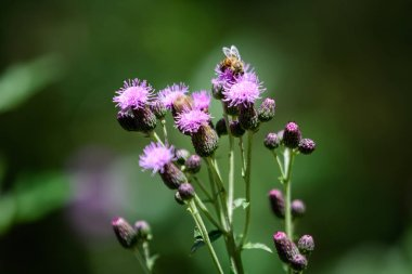 Delicate pink and purple flowers of Carduus nutans plant, commonly known as musk or nodding plumeless thistle, in a garden in a sunny summer day, national flower and symbol of Scotland, United Kingdom