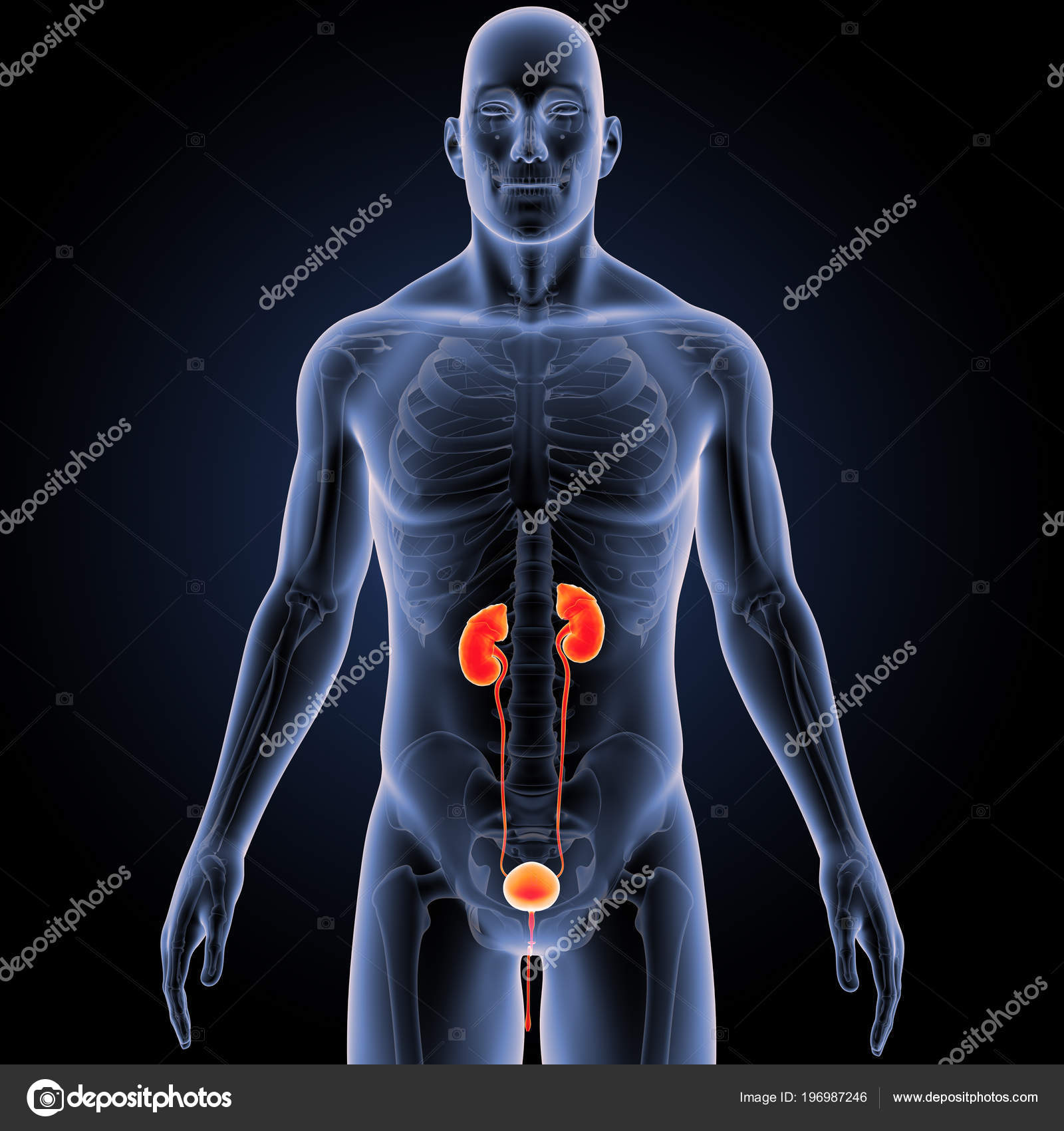 Colorful Medical Illustration Human Male Body Urinary System Stock