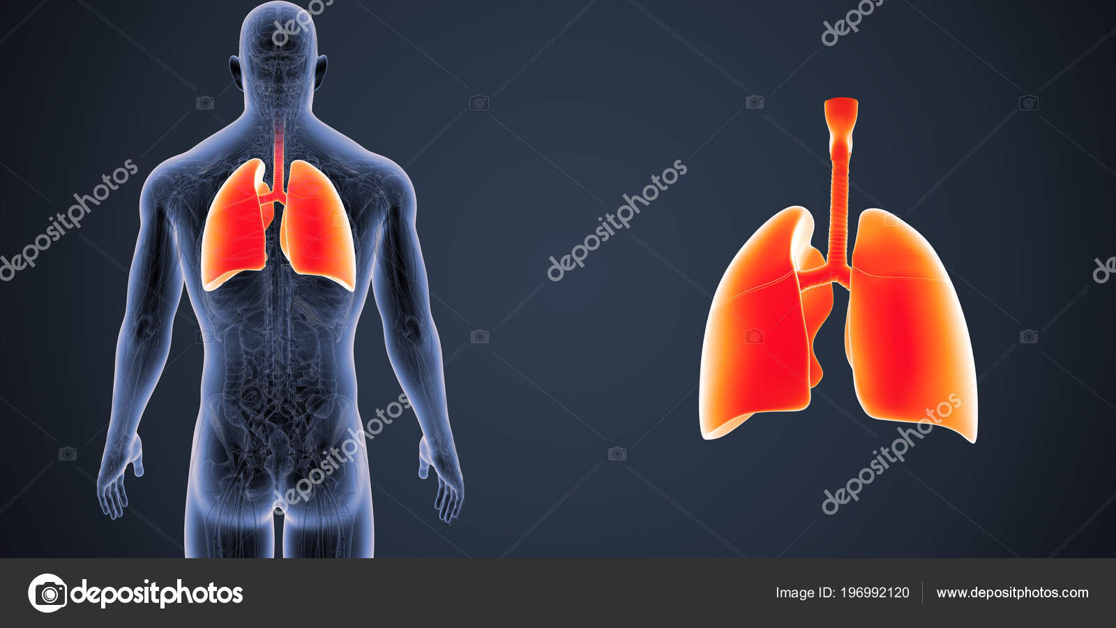 Colorful Medical Illustration Human Body Lungs — Stock Photo ...