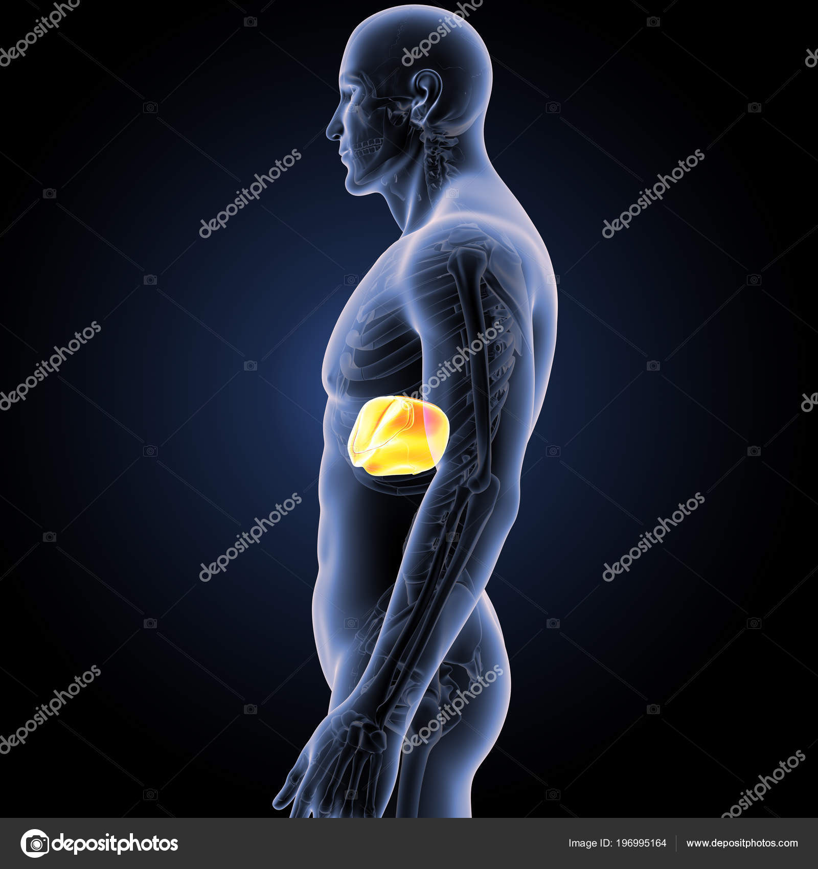 Colorful Medical Illustration Human Body Liver — Stock Photo ...