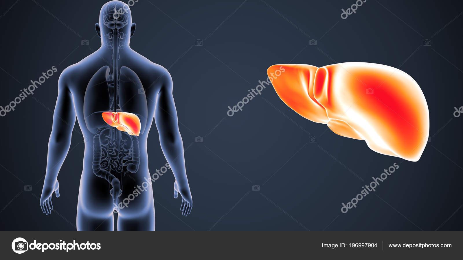 Colorida Ilustración Médica Del Cuerpo Humano Del Hígado — Foto de ...