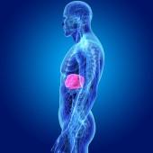 Fotografie Barevné lékařské ilustrace lidského těla a játra