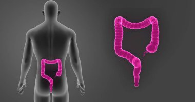 _Large Intestine zoom with Body Posterior view