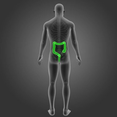 Large Intestine with Skeleton Posterior view