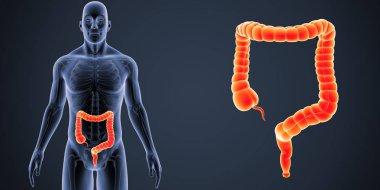 Large Intestine zoom with Skeleton Anterior view