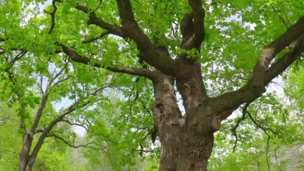 cinematic movement near an old green oak