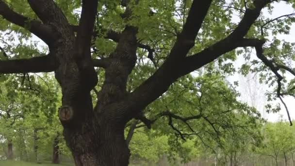 kinematografický pohyb v blízkosti starého zeleného dubu