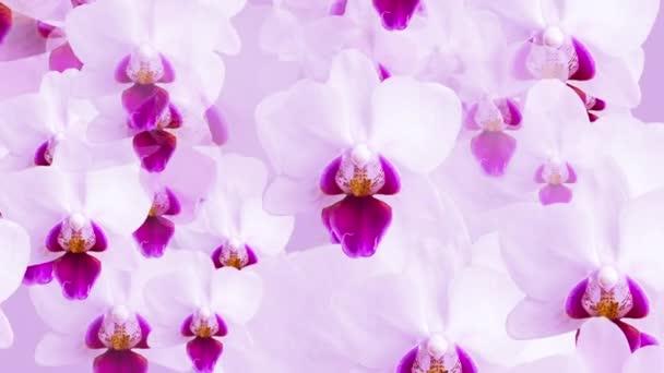 Krásný květinový pohyb pozadí animace s bílými orchidej květy (falaenopsis) jemně se pohybuje směrem ke kameře.