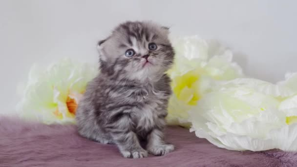 Purebred beautiful fluffy gray scottish kitten close-up sits on a background of flowers. 4K