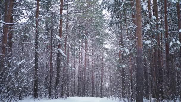 Krásný borovicový les v zimě odpoledne