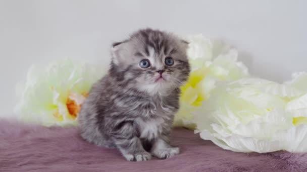 Beautiful purebred fluffy kitten is yawning. Scotsman 4K