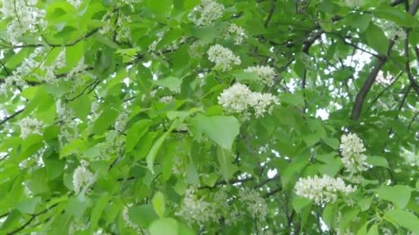 Střemchová kvetoucí větve s listy
