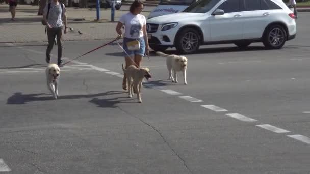 A lány átmegy az úton egy zöld jelzőlámpánál, és vezet a három gyönyörű felnőtt kutyájával.