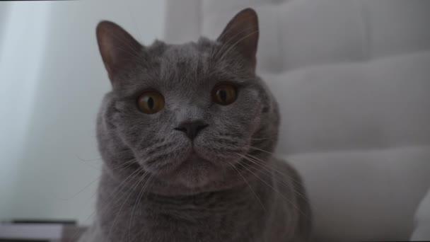 Portrait of British Grey Cat Watching Around