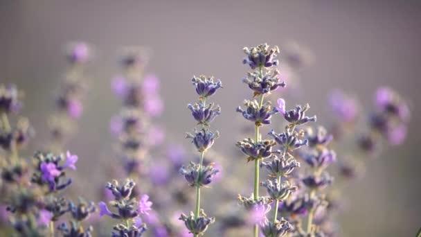 Zavřít levandulovou květinu při západu slunce. Selektivní zaměření na keře levandulově fialových aromatických květů na levandulových polích francouzské Provence u Valensole.