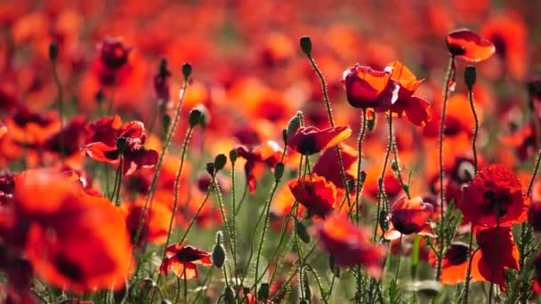 4k Pole se zelenou trávou a červenými máky proti zapadajícímu slunci. Krásné polní červené máky se selektivním zaměřením. Červený mák v měkkém světle. Opiový mák. Mýtina červených máků. Rozmazání měkkého ostření