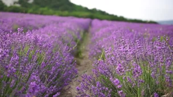 Lavender flower blooming scented fields in endless rows on sunset. Selective focus on Bushes of lavender purple aromatic flowers at lavender fields
